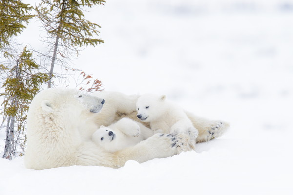 Polar bear mother (Ursus maritimus) with two cubs resting. (Getty Images/AndreAnita)
